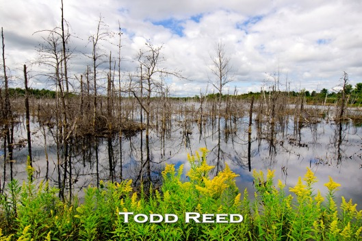 """Dead or Alive"" — Todd Reed In my mind's eye, the scene in front of me at this flooded old shale quarry west of Alpena, Michigan is most incongruous. Dead and dying trees appear almost colorless while brilliant yellow goldenrod along the water's edge thrives. I spend a long time fitting these two subjects together to make an image that I find oddly and artistically harmonious. F22 at 1/30, ISO 100, 14-24mm lens at 16mm"