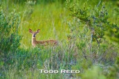 Old enough to explore, a fawn pauses to check out a potential threat at the edge of its still small world in a swale between dunes near the Sable River. Hundreds of park visitors swimming, fishing, or just sitting on the beach have no idea the nearby swale is the fawn's first home.