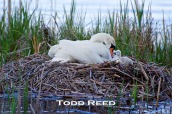 """Almost every day for two weeks in May I hiked the Island Trail at Ludington State Park, hoping to see newborn swan cygnets appear in this nest. I had envisioned making a photograph with several cygnets and one or both parents for this book. Instead of the picture I had pre-visualized, I was finally rewarded on May 17 with a simpler, more unique shot. A lone first-hatched cygnet crawled out of the nest and waddled precariously around the top edge until coming face to face with its mother. I tripped the shutter at the instant world-famous French photographer Henri Cartier-Bresson liked to call """"the decisive moment."""""""
