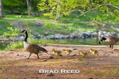 It's comical to watch geese trying to walk on land, especially when they are only a few days old. This particular group of goslings seemed to be quite fond of the game leapfrog. As they passed by my camera, they clumsily hopped over each other while trying to keep up with the rest of the family.