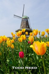 """Holland Icons"" — Todd Reed Tulips and the 250-year-old DeZwaan Windmill are longstanding symbols of Holland's Dutch heritage and the famous Holland Tulip Festival. I placed my wide-angle lens amidst the tulips to make them stand out. The historic windmill, undergoing renovations for this year's festival, becomes a secondary yet highly visible subject. F7.1 at 1/500, ISO 100, 14-24mm lens at 24mm"