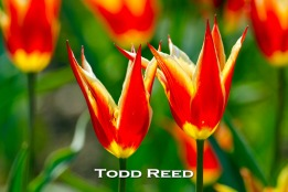 """""""Growing Closer"""" — Todd Reed It strikes me that the lives of these two tulips appear intertwined like a pair of swans. They are part of the splendid display of tulips in one of Holland's city park gardens. F5.6 at 1/1000, ISO 200, 500mm lens at 500mm"""
