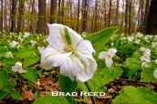 """Still Looking Up"" — Brad Reed This was the first time I experienced being able to stand in a seemingly endless field of trilliums. It was magical. Even with the frosty nights the last few weeks, this trillium is still looking up. F14 at 1/100, ISO 400, 18-50mm lens at 18mm"