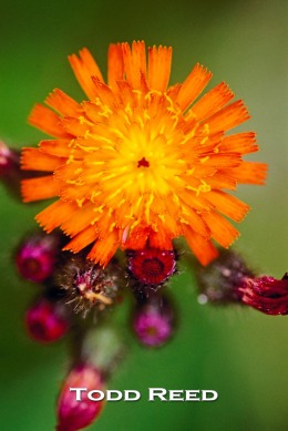 The nature trails at West Shore Community College abound with outdoor photography subjects. This orange hawkweed stood out along the shore of a pond on the picturesque campus.