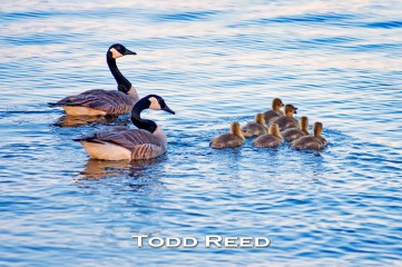 Parents escort a squadron of Canada geese goslings on an evening voyage across Pere Marquette Lake. Perhaps the youngsters are practicing the precision V-formations they will be part of when they learn to fly. F2.8 at 1/500, ISO 100, 80-200 mm at 200 mm